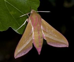 Stor snabelsvermer Deilephila elpenor.